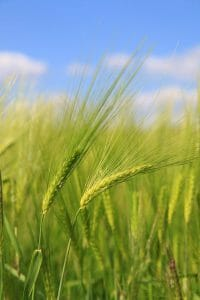 barley 1456223 640 200x300 1