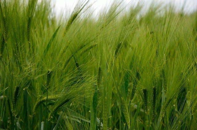 barley 345137 640