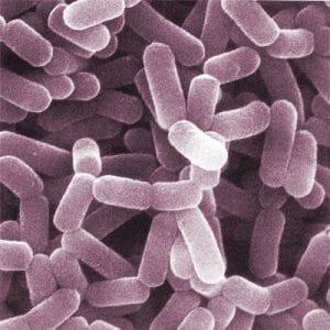 顕微鏡下のプロバイオティクス菌