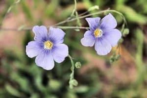 亜麻仁の花
