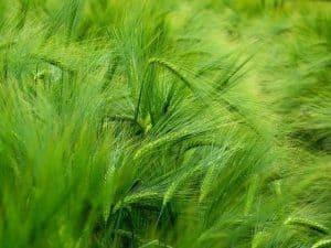 barley 509957 640 300x225 1