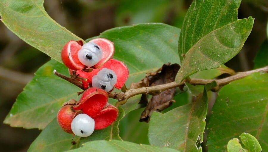 グアラナ、Paullinia cupana
