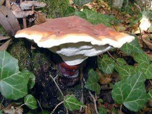 菌類reishi(Ganoderma lucidum