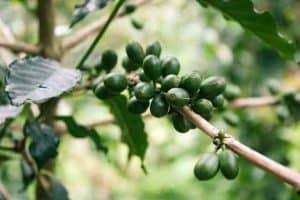 枝の上の緑のコーヒーの果実