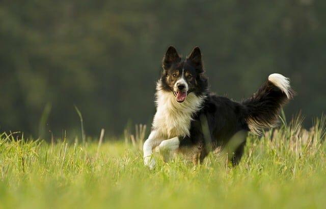 あなたの犬は草原を走っている