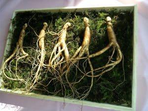 高麗人参の根、高麗人参適正化(Panax ginseng)