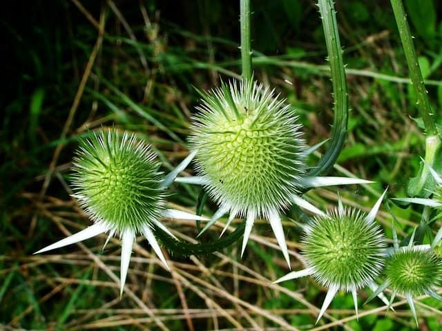 植物のアザミ