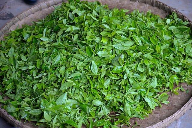 緑茶-生葉